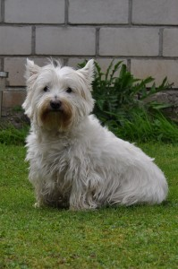 west_highland_terrier_temi_1