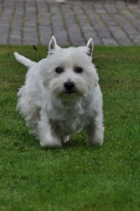west_highland_terrier_temi_2
