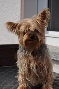 yorkshire_terrier_hundefrisuer_cheeta_1